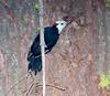 White-headed pecker Sequioa_08-09-22_IMG_0328