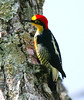 YellowFrontedWoodpecker Iguassu_4_08-15-05
