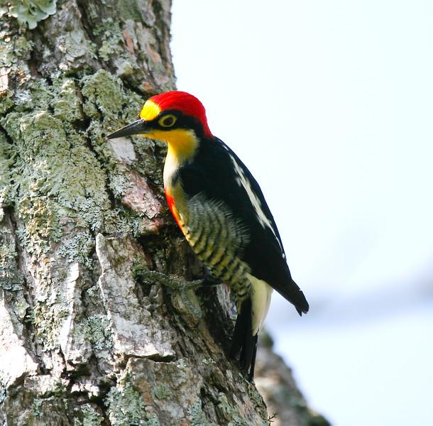 YellowFrontedWoodpecker Iguassu_11_08-15-05