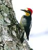 YellowFrontedWoodpecker Iguassu_10_08-15-05
