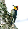 YellowFrontedWoodpecker Iguassu_9_08-15-05