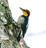 YellowFrontedWoodpecker Iguassu_9_08-15-05