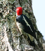 YellowFrontedWoodpecker Iguassu_5_08-15-05