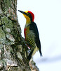 YellowFrontedWoodpecker Iguassu_2_08-15-05