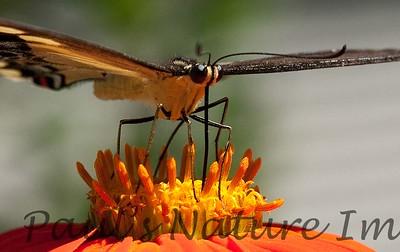 PapilioYel StaBarb_09-08-26_00-638466820-O
