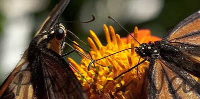 GiantSwalTail StaBarb_09-08-26-638466350-O