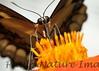 PapilioYel StaBarb_09-08-26_00-638467026-O