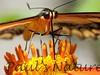 PapilioYel StaBarb_09-08-26_00-638466921-O