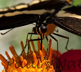 GiantSwalTail StaBarb_09-08-26-638466416-O