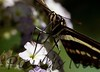 GiantSwalTail StaBarb_09-08-26-638466380-O