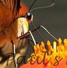 PapilioYel StaBarb_09-08-26_00-638467056-O