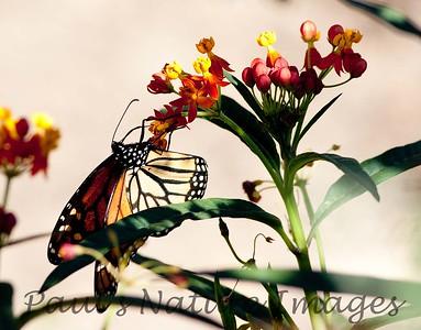 Monarch_BkYrd_09-07-16-0015-601485314-O