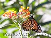 Monarch_BkYrd_09-07-16-0003-601484871-O