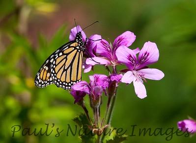 Monarch BotGard_10-05-10_7I2B2-871503863-O