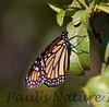 Monarch_BkYrd_09-07-16-0019-601485405-O