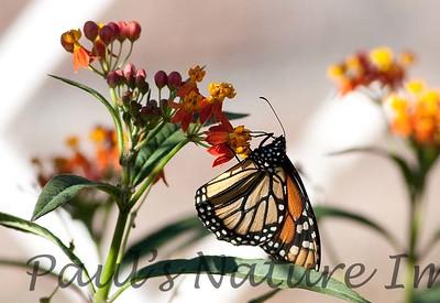 Monarch_BkYrd_09-07-16-0014-601485151-O