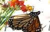 Monarch_BkYrd_09-07-16-0011-601485058-O