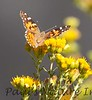 Butterfly BolChica_7I2B0113_20-1433982443-O