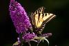 WestTigerSwallowtail BkYrd_IMG-1517298142-O