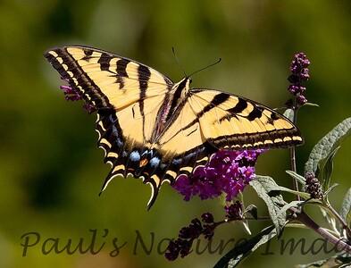 WestTigerSwallowtail BkYrd_IMG-1517295722-O
