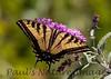 WestTigerSwallowtail BkYrd_IMG-1517295142-O