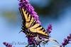 WestTigerSwallowtail BkYrd_IMG-1517297675-O