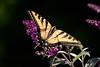 WestTigerSwallowtail BkYrd_IMG-1517296718-O