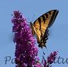 WestTigerSwallowtail BkYrd_IMG-1548458012-O