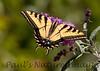 WestTigerSwallowtail BkYrd_IMG-1517295670-O