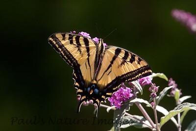 WestTigerSwallowtail BkYrd_IMG-1517296571-O