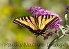 WestTigerSwallowtail BkYrd_IMG-1517295015-O