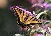 WestTigerSwallowtail BkYrd_IMG-1517294597-O