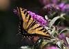 WestTigerSwallowtail BkYrd_IMG-1517294563-O
