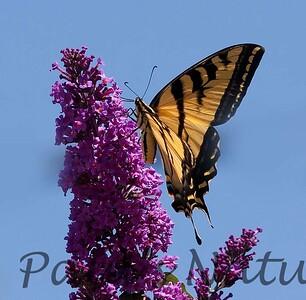 WestTigerSwallowtail BkYrd_IMG-1548459420-O