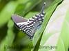 untitled20060723_Uranidd Moth-1103377910-O