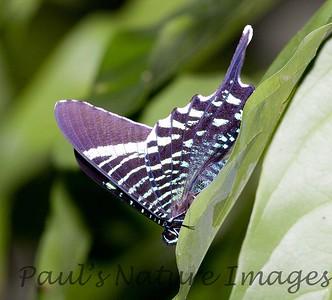 untitled20060723_Uranidd Moth -1103377743-O