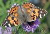 Butterfly3-509135217-O