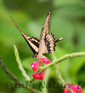 butterfly garden, Laguna Lodge-509137104-O