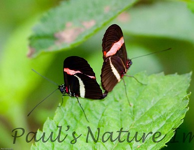 Butterfly CR_20_02-19-06-509136111-O