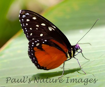 Butterfly CR_27_02-20-06-509136603-O