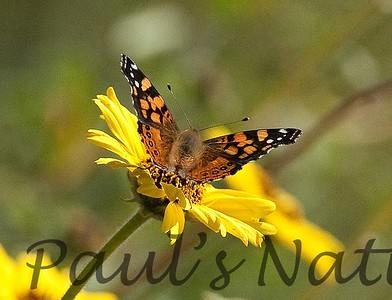 Butterflies CLU_7I2B9661_10-03-886138021-O