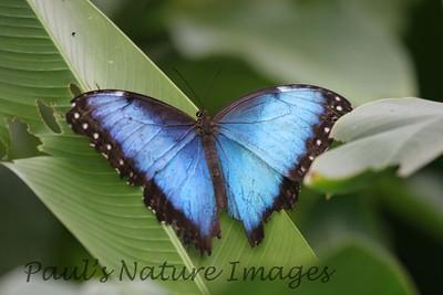 butterfly morpho (1)-803735430-O