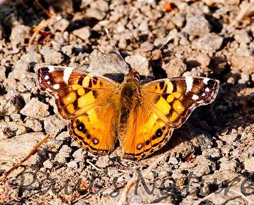 Butterfly CLU_9_05-15-06-509135458-O
