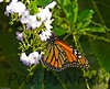 Butterfly BotGard_45_10-09-05-509135277-O