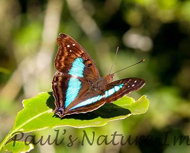 Blue Butterfly (3)-509135111-O