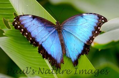 butterfly morpho (1)_CostaRica-508925464-O