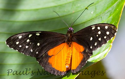Butterfly CR_28_02-20-06-509136720-O