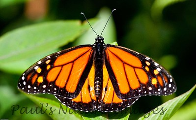 Butterfly CR_15_02-20-06-601751084-O