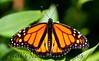Butterfly CR_15_02-20-06-601751084-O
