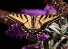 WestTigerSwallowtail BkYrd_IMG-1517297783-O